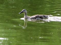 2013-07-13 Mallard Duck