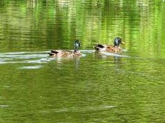2013-07-13 Mallards