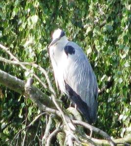 20130716 - Resident heron 01