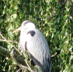 20130716 - Resident heron 02
