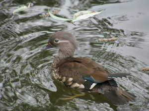 Female Mandarin Duck that was accompanied by 2 young.