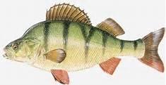 Perch (Perca Fluviatilis)