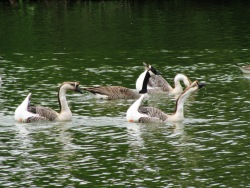 Chinese Geese (Plus Canada Goose)