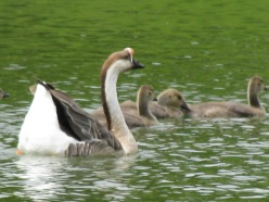 Chinese Goose With Young.