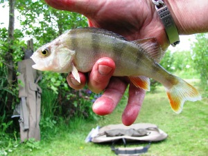 2015-06-09 Steve 4oz Perch