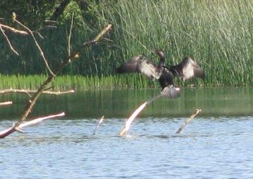 2015-06-16 Cormorant 09