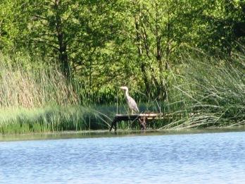 2015-06-16 Heron 01