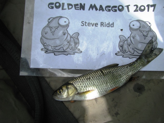 2017-07-09 Golden Maggot - Chub