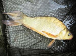1lb 2oz Brown Goldfish