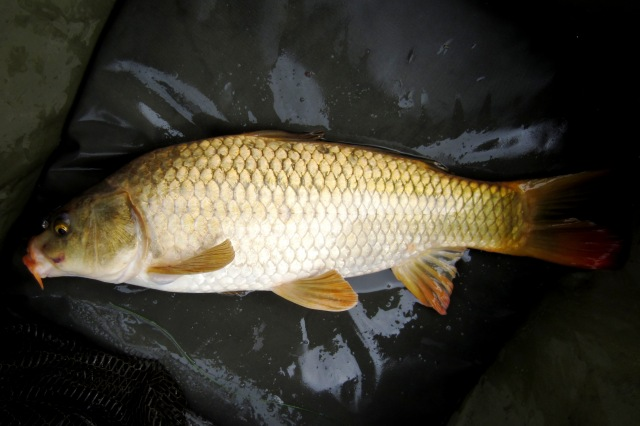 2019-08-19 Steve - 2lb 12oz Common Carp (Golden)