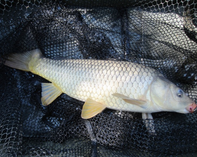 2020-05-25 Steve - 4lb 10oz Common Carp 02