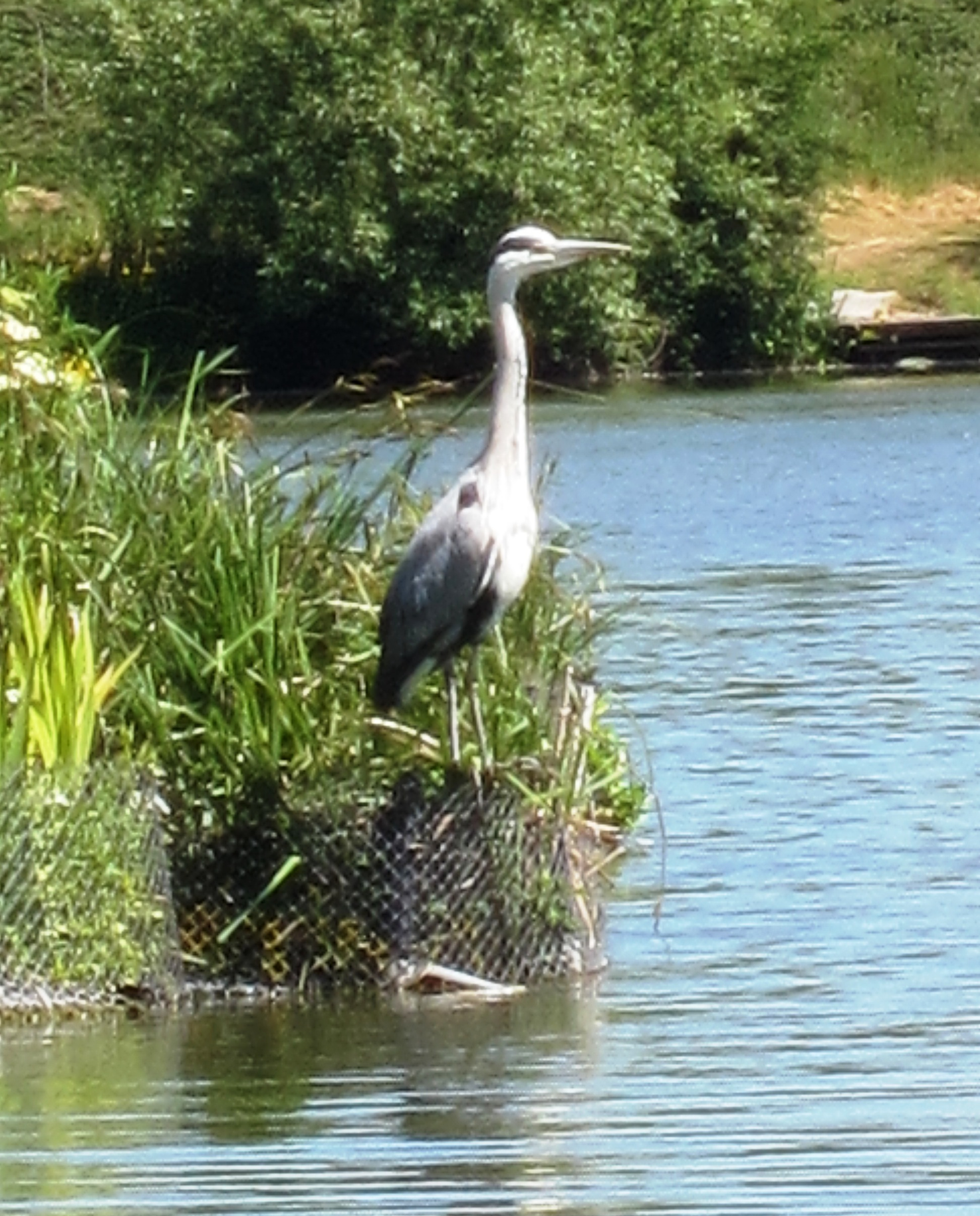 2020-06-01 Henry The Heron 04