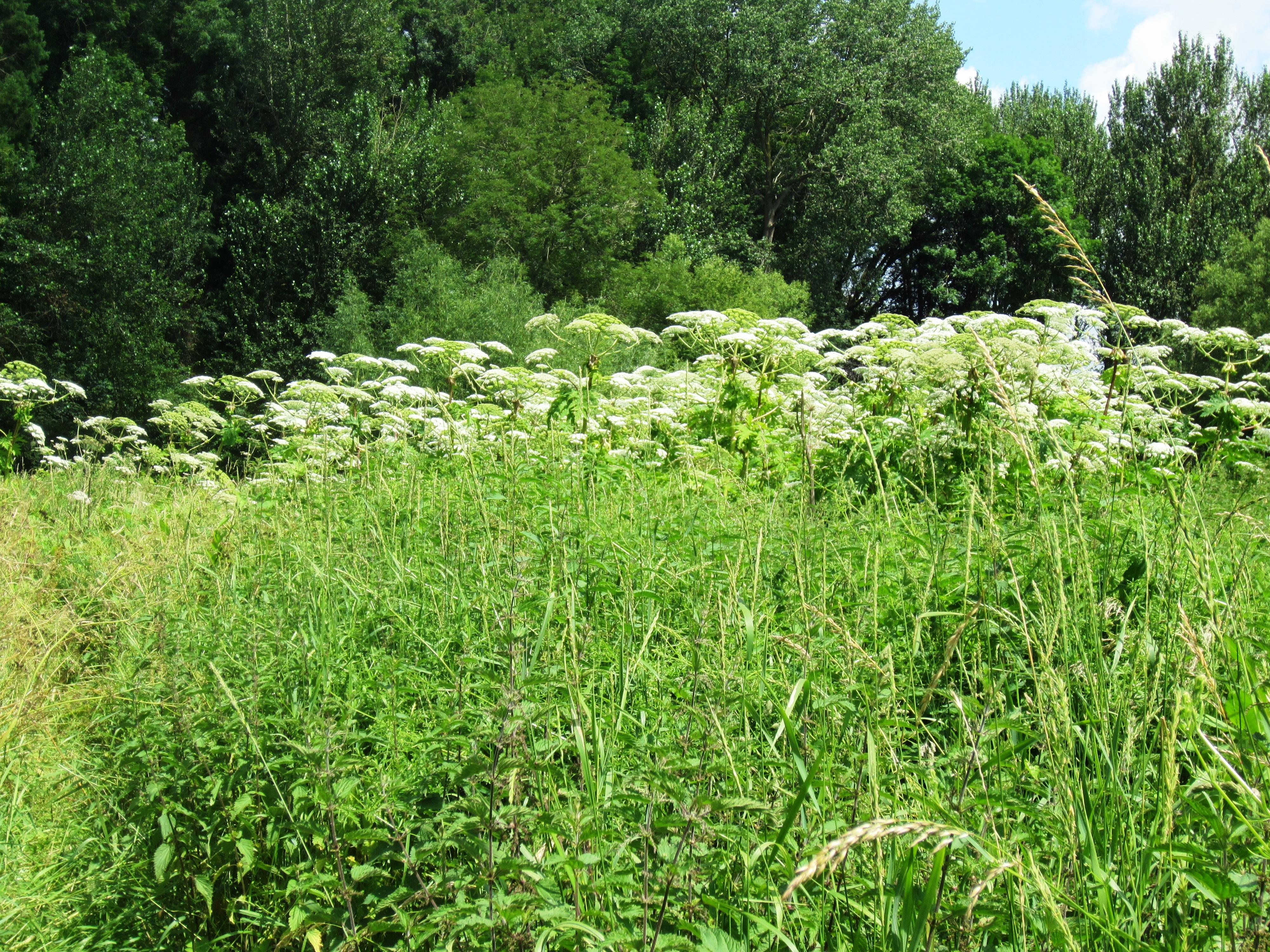 2021-07-08 Giant Hogweed 01